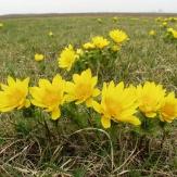 Pusztaföldvár - Tavaszi hérics