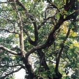 Pusztaföldvár - Öreg diófa