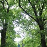 Tótkomlós - Erzsébet liget: Kocsányos tölgyfa